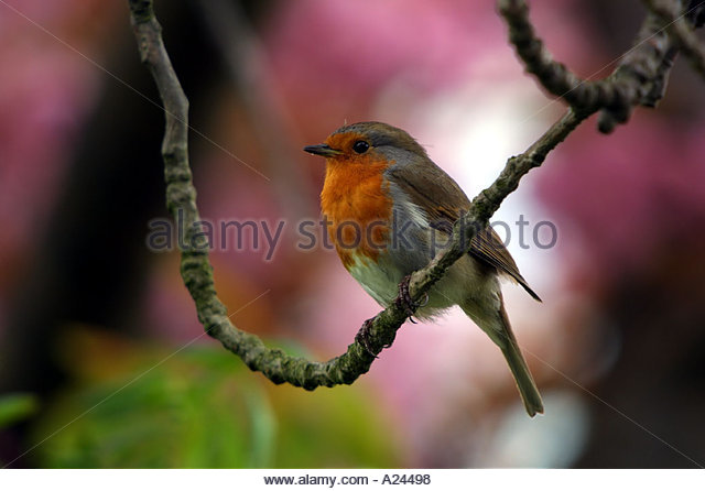robin-with-red-breast-in-front-of-pink-s