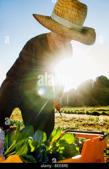 Organic tatsoi farm - Certified Organic Producer - Stock Image