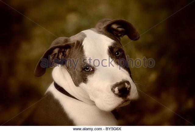 PItbull Portrait - Stock Image