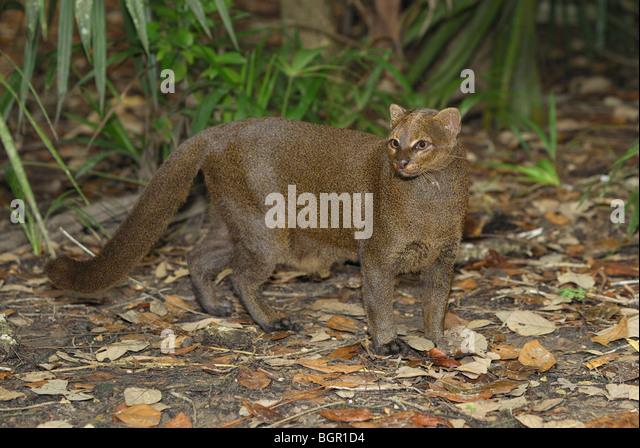 Jaguarundi (Felis yagouaroundi), adult, Belize - Stock Image