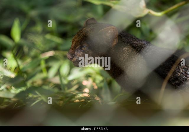 Injured Jaguarundi (Puma yagouaroundi syn. Herpailurus yagouaroundi) at Las Pumas Animal Rescue Center in Cañas, - Stock Image