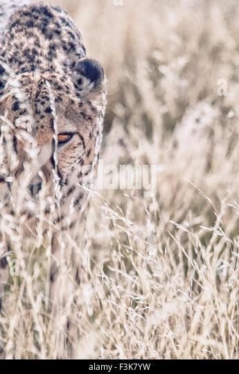 adult-cheetah-acinonyx-jubatus-looking-t