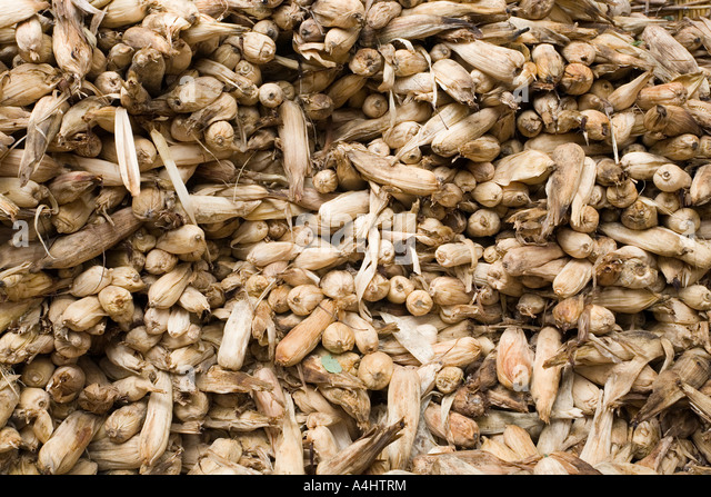 Old maize cobs in a grain store, garner (nkhokhwe) in the village of Kendekeza Malawi Africa - Stock Image