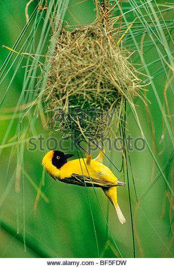 Lesser masked weaver male building nest, Ploceus intermedius, Okavango Delta, Botswana - Stock Image