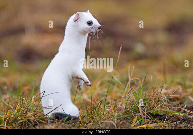 Stoat  ShortTailed Weasel  Animal Pictures and Facts