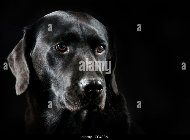 A Black Labrador with a black back drop. - Stock Image