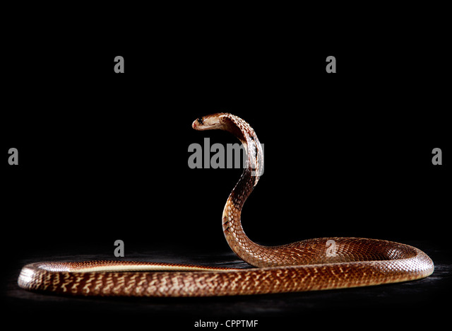 King cobra videos photos and facts  Ophiophagus hannah