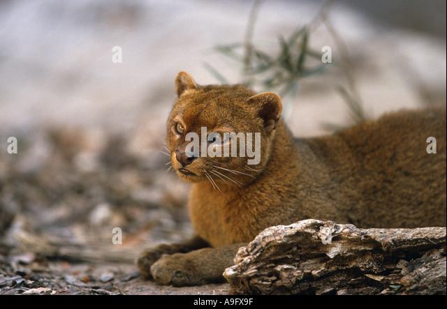 jaguarundi (Felis yagouaroundi), sitting,  ,  , - Stock Image
