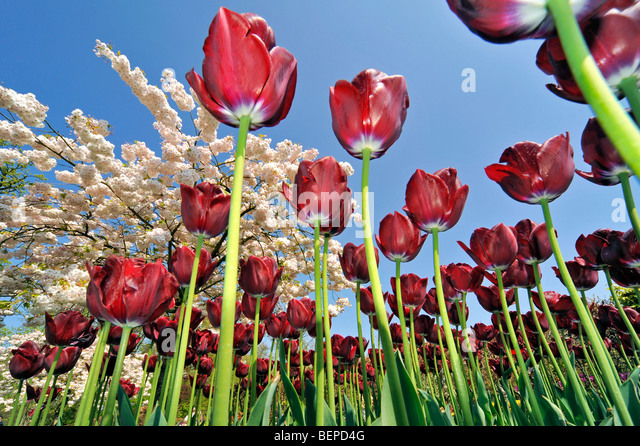 worms-eye-view-on-flowerbed-with-red-tul
