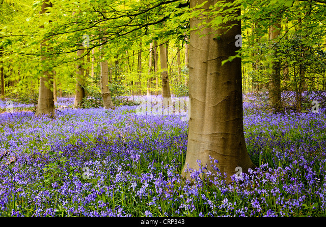 A carpet of bluebells in West Woods near Marlborough. - Stock Image