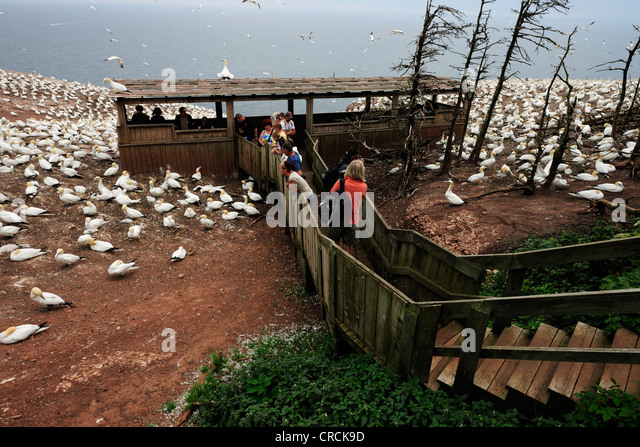 Viewing platform in the middle of the colony, Northern gannets (Morus bassanus) nesting in summer at Percé - Stock Image