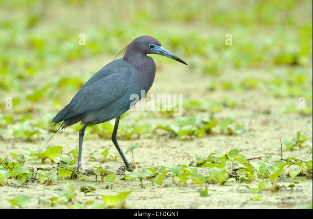Little Blue Heron (Egretta caerulea) - Brazos Bend State Park, Texas, United States of America - Stock Image