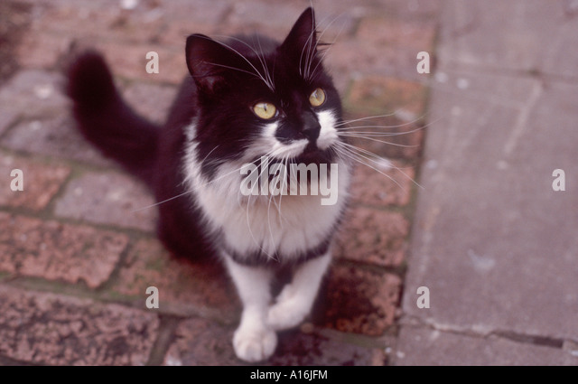 black-and-white-medium-hair-cat-with-lon