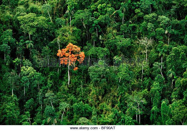 Erythrina tree in rainforest (aerial), Vilcabamba, Peru - Stock Image