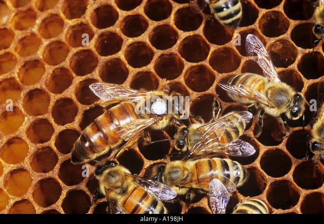 Types of honey bees italian