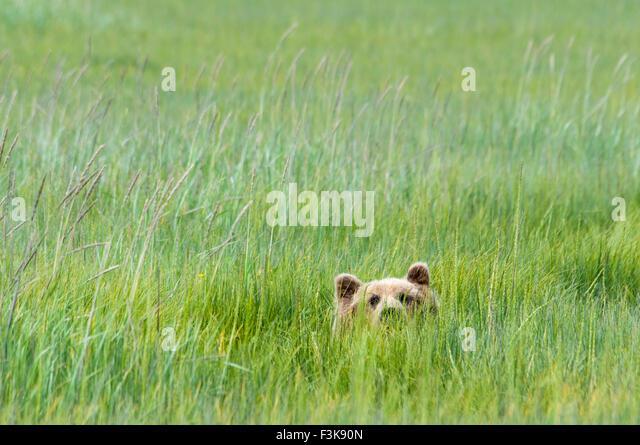 adult-grizzly-bear-ursus-arctos-peeking-