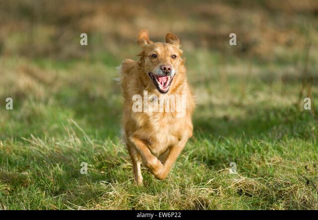 golden-retriever-running-outdoors-on-mal
