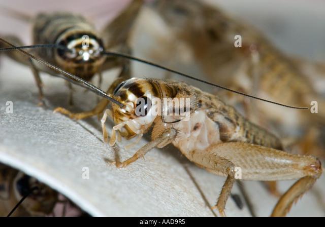 an overview of acheta domesticus aka house cricket
