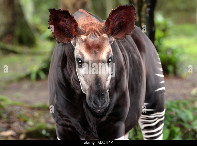 okapi wildlife reserve essay The guardian - back to inside the us wildlife repository – photo essay an ambush by local rebel forces led to five deaths in the okapi wildlife reserve.