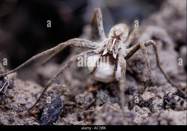 nursery-web-spider-pisaura-mirabilis-car