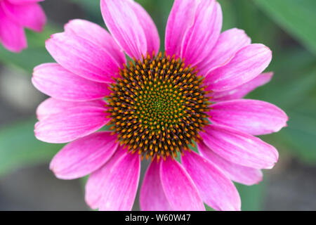 Cone flower pink petals - Stock Image