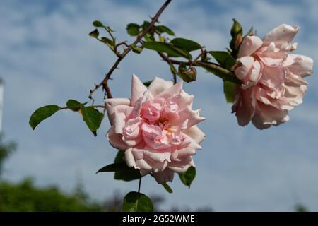 June roses in bloom at Southsea rose garden 2021 - Stock Image