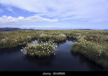 Cotton grass and peat bog near Golspie in summer. - Stock Image
