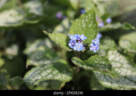 Brunnera macrophylla / forget-me-nots - Stock Image