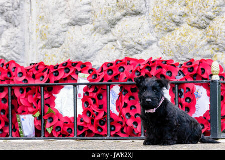 9 week old Scottish terrier puppy sitting beside some red poppy wreaths - Stock Image
