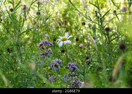 Moon daisy (Leucanthemum vulgare) surrounded by meadow flowers July UK - Stock Image