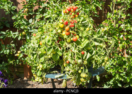 Bush tomato f1 hybrid Tumbler growing in a container, north east England, UK - Stock Image