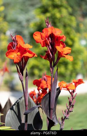 Hybrid flowers on display at Kittenberger Erlebnisgärten, a popular tourist destination in Lower Austria - Stock Image