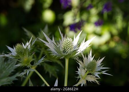 Summer flowers of Eryngium giganteum (Miss Willmott's Ghost / White Sea holly) in July UK - Stock Image