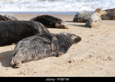 Horsey beach, Norfolk, UK. 26th Oct, 2018. Scores of people enjoy a day out at Horsey beach in Norfolk as a dozen or so grey seals otherwise known as Atlantic grey seal or the Horsehead grey seal, latin name halichoerus grypus or hook-nosed sea pig. The female seals (cows) have come to the beach to give birth to their pups, this happening between October and February. The area is known as the Horsey grey seal colony. © Paul Lawrenson 2018, Photo Credit: Paul Lawrenson / Alamy Live News - Stock Image