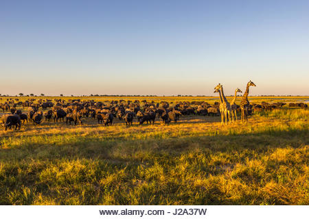 Giraffe and large herd of Buffalo graze together on the Chobe River floodplain in the setting sun. - Stock Image