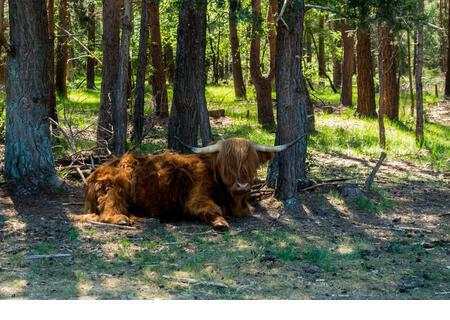 1st June 2020, as the heatwave continues in Southern England, a highland steer, still retaining its winter coat, cools down in the shade of pine trees - Stock Image