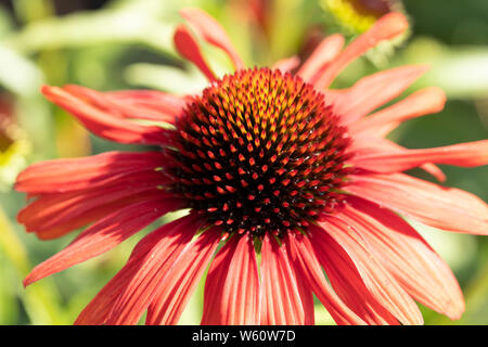 Cone flower red petals - Stock Image