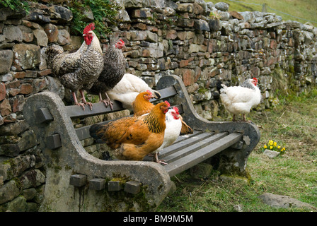 Chickens on a bench, near the village of Dent, Yorkshire Dales National Park, Cumbria, England, UK - Stock Image