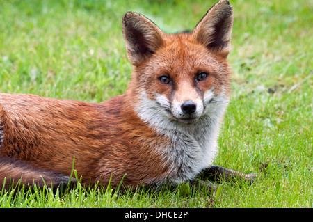 Red Fox (Vulpes vulpes) on a lawn in an urban garden (yard).  Droylsden, Tameside, Manchester, England, UK - Stock Image