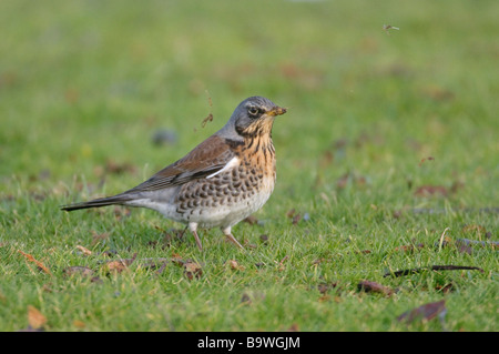 Fieldfare Turdus pilaris foraging on ground Cambridgeshire February - Stock Image