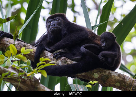 tropical scene with young howler monkey family up a tree in the Nicoya Peninsula in Costa Rica - Stock Image