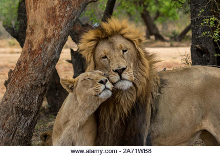 A captive lion and lioness rubbing faces in an apparent show of affection. Lion and Safari Park, Hartebeespoort, South Africa - Stock Image