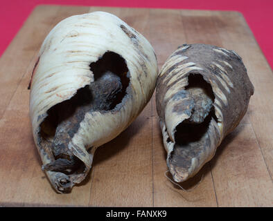 Two parsnips hollowed out from below leaving an outer shell and conical inner core, presumed to be damaged by voles. - Stock Image