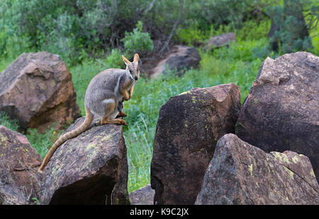 Yellow-footed Rock-wallaby (Petrogale xanthopus), Flinders Ranges, South Australia - Stock Image