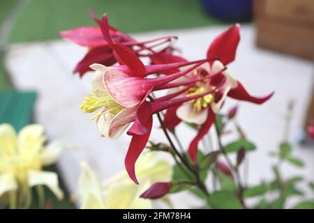 Aquilegia vulgaris / columbine / Granny's bonnet - Stock Image