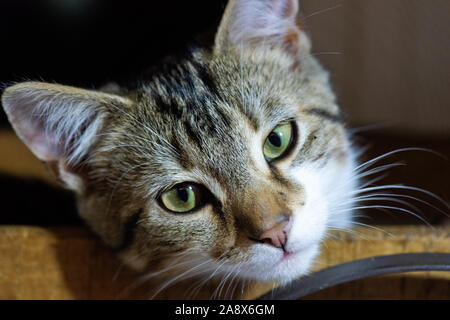 A cute adorable little kitten with green eyes relaxes a wooden basket - Stock Image