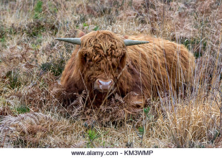 Highland Cattle, part of a conservation project restoring former military land near Aldershot to heathland. - Stock Image