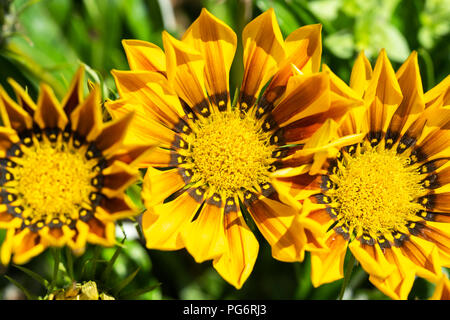 Yellow and brown flowers - Stock Image