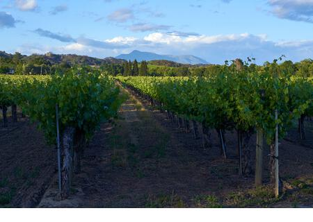 Vineyard in Sonoma County California USA with view of Mount Saint Helena, on a sunny day with some clouds. - Stock Image