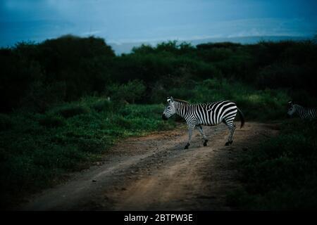african common zebra crossing mud road used for Jeep safari at masai mara - Stock Image